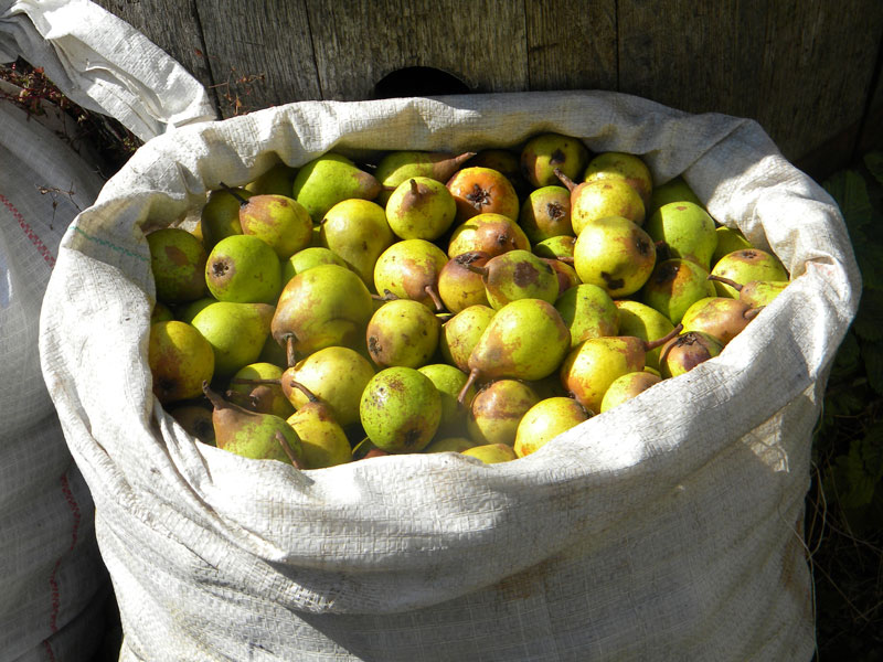 Langport perry pears of unknown variety