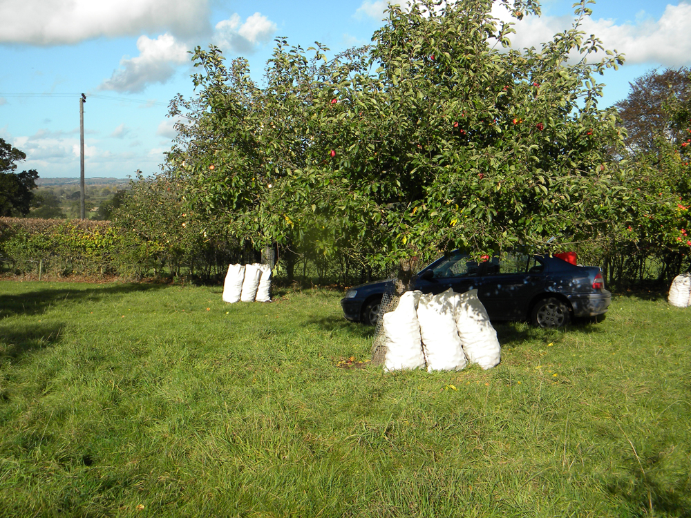 Cider apples bagged up