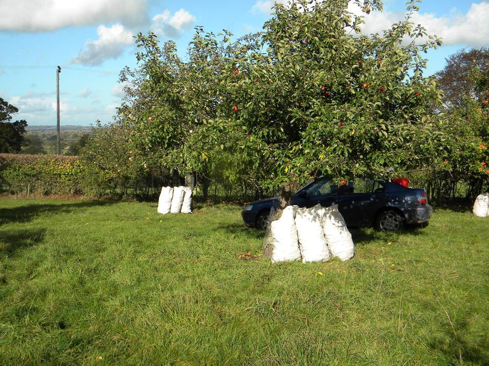 Cider apples bagged up