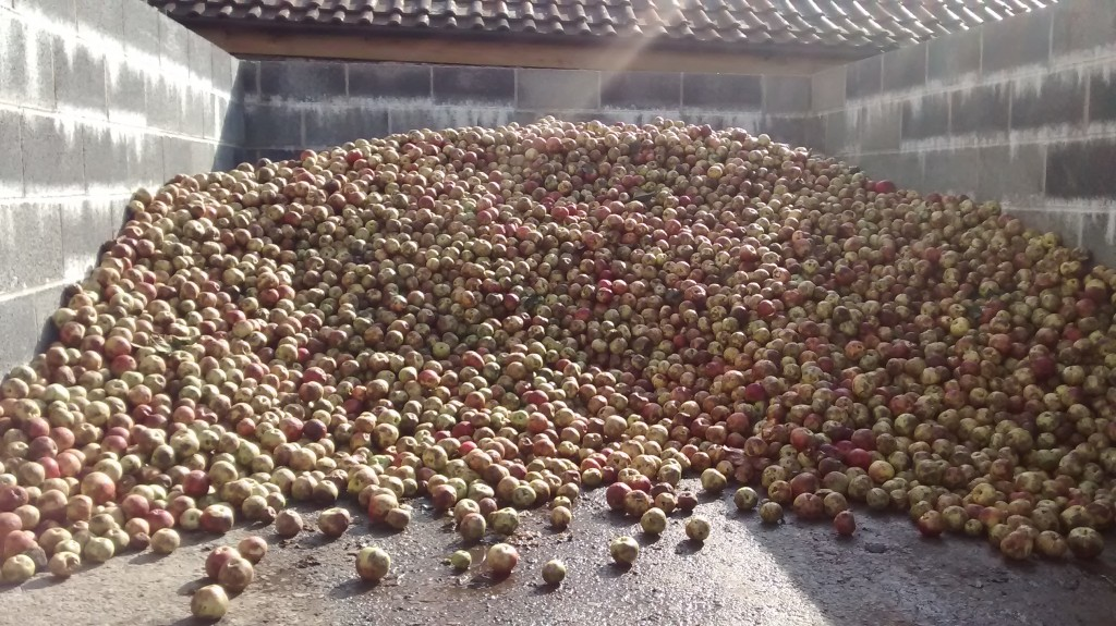 Early bittersweet apples in the silo. Using apples at peak ripeness makes the best, cleanest tasting cider